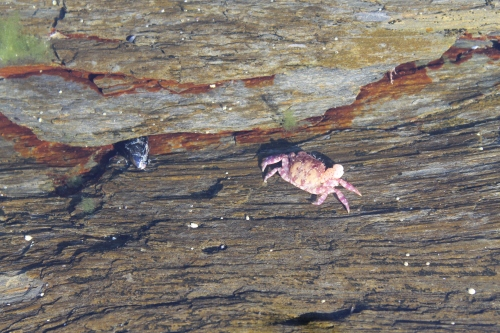 A tiny crab spotted in a tide pool.
