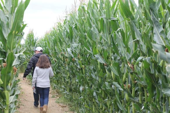 Treworgy Family Orchards + Corn Maze |